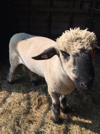 He looks sheepish!